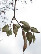dry autumn leaves on branch at cloudy sky