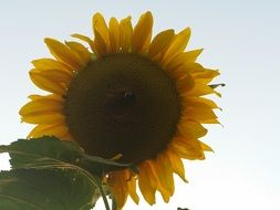 yellow sunflower against a pale sky