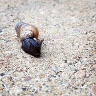 black crawling snail