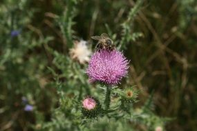 insect on a blooming thistle close-up