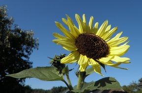 large blooming sunflower on a field against a blue sky