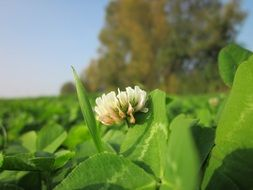 White clover among green leaves