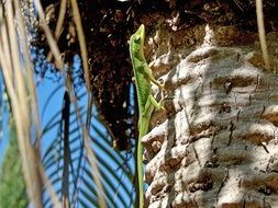 Green lizard on the palm tree