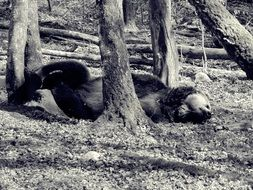 bear lying in forest black and white photo