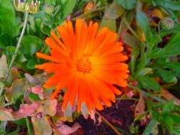 orange gerbera flower in summer