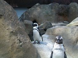 penguins in the aviary in the zoo