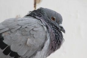 Gray pigeon bird