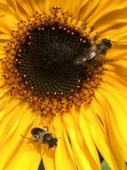 Bumblebees on inflorescence of sunflower