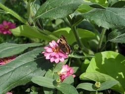 butterfly with closed wings on a pink flower