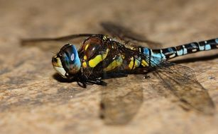 colourful dragonfly insect macro