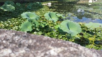 green water lily leaves in a pond