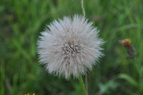 Lush dandelion against a background of green grass