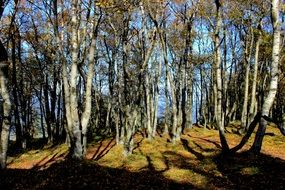 birch trees in the forest on a sunny autumn day