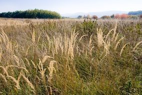 ripe dry seed heads of grass on meadow at autumn