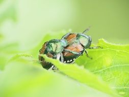 insect beetle scarab