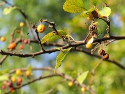 berries on tree branches with green leaves