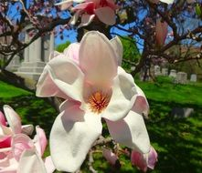 pale pink magnolia flowers