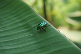 green beetle on a large leaf close-up