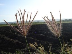 Ornamental grass with thorns on a background of a field