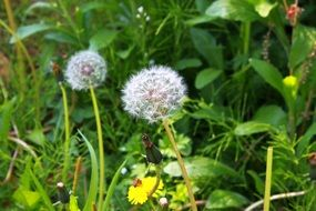 dandelion seed heads and flower in grass