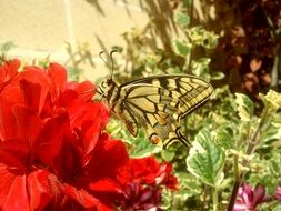 striped butterfly on a red flower in the garden