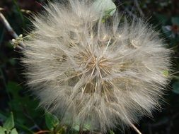 Seeds in the dandelion