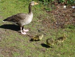 goose with goslings on ground