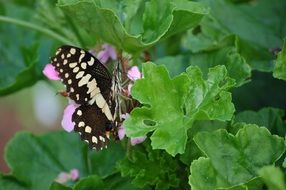 Black and white butterfly on an ornamental plant
