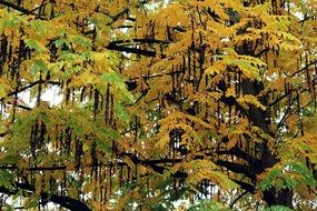 golden foliage on a tree in autumn