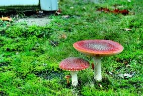 two fly agaric mushrooms