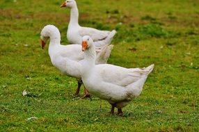 three white cute geese