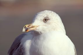 portrait of a white seagull
