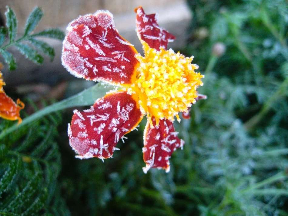 Side view of the colorful flower in the frost
