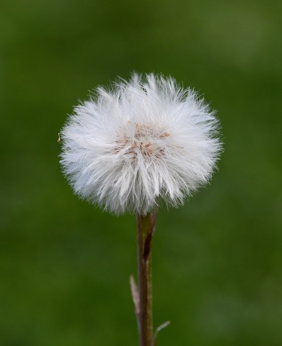 dandelion on the blurred background