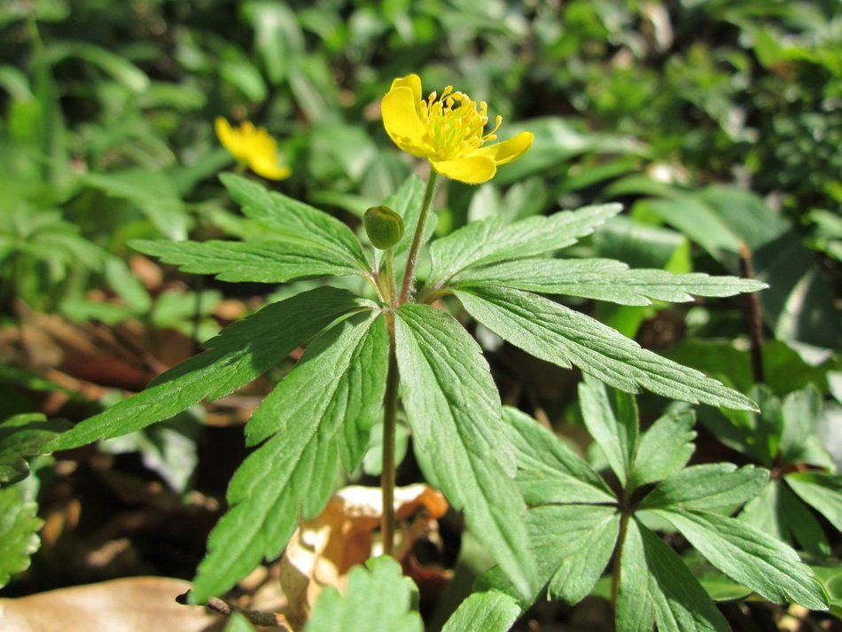 bright yellow anemone ranunculoides