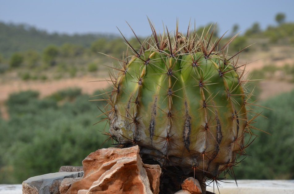 cactus with huge spikes in nature