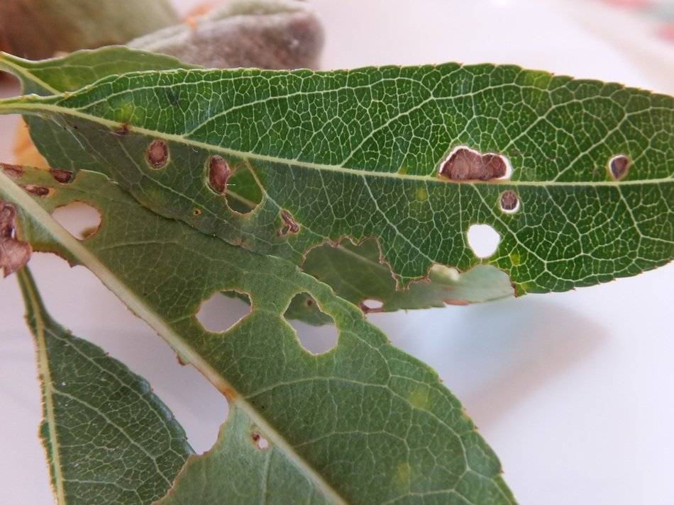 parasites on almond tree leaves close-up on blurred background