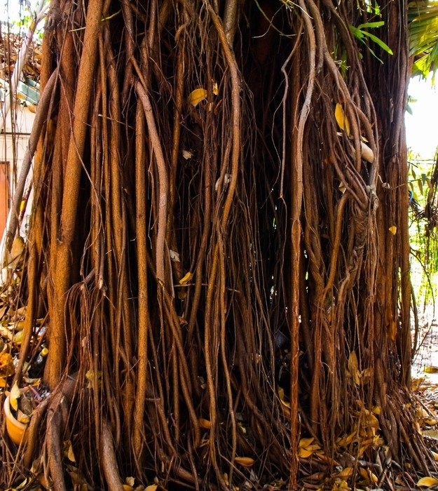 aerial roots in the forest