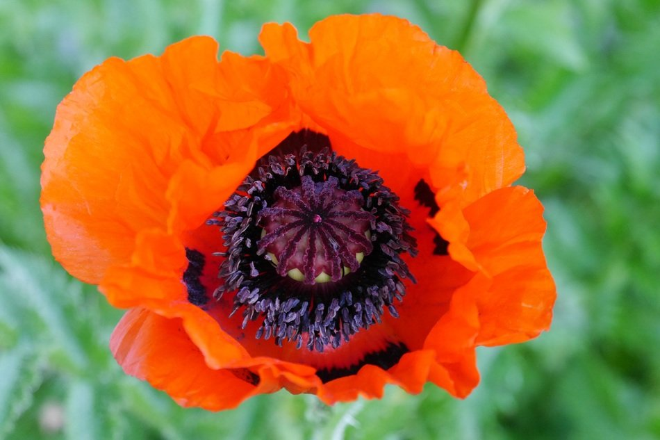 red poppy on green grass background