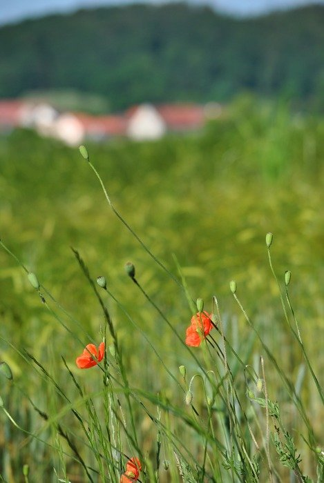 field with green grass and red poppy