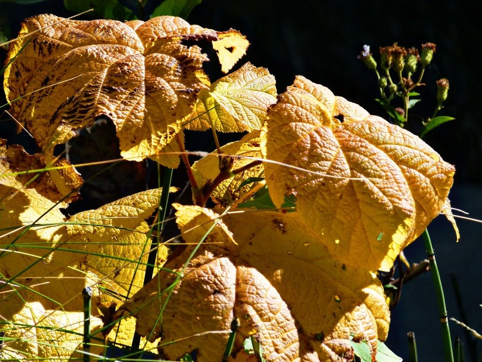 yellow autumn leaves of a garden bush in the bright sun close-up