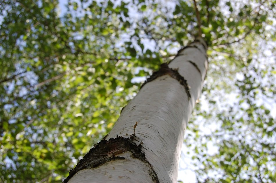 Beautiful black and white birch tree with green leaves in sunlight