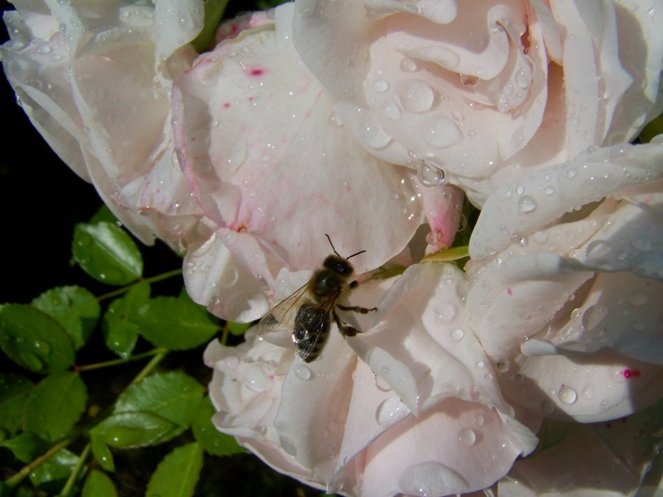 closeup photo of bee on a pale pink rose