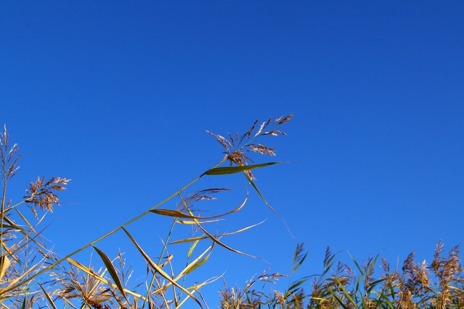 Top of the marsh grass against the backdrop of a bright blue sky