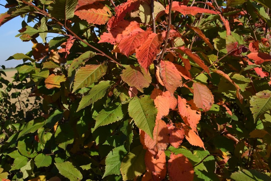 red bush leaves in autumn