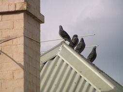 bird pigeon roof