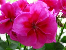 Pink geranium flowers in a pot