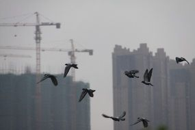 flying birds at high-rise buildings under construction, china, changsha