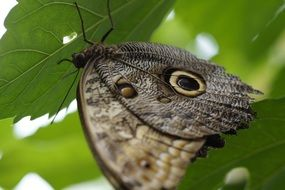 exotic owl butterfly