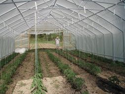 green tomato plants in a greenhouse